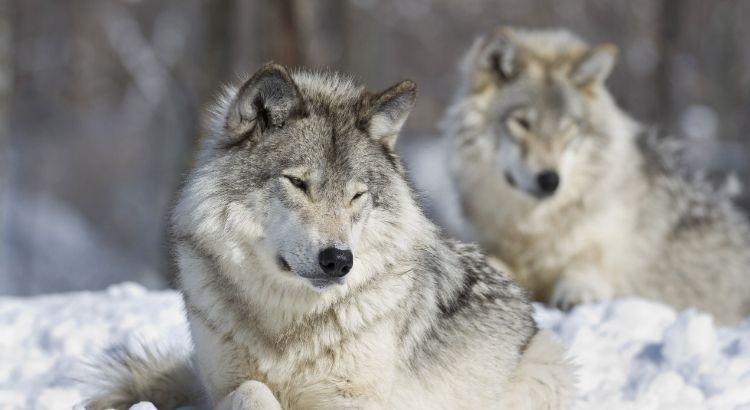 Les Loups Dans La Mythologie Nordique